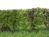 Pflanzen-Hecken-Foto_Textur_B_P4261851