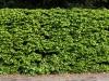 Pflanzen-Hecken-Foto_Textur_B_P5022090