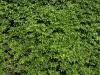 Pflanzen-Hecken-Foto_Textur_B_P5022110