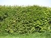 Pflanzen-Hecken-Foto_Textur_B_P5032312