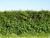 Pflanzen-Hecken-Foto_Textur_B_P5072586