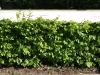 Pflanzen-Hecken-Foto_Textur_B_P5112621