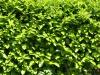 Pflanzen-Hecken-Foto_Textur_B_P6013230