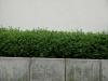 Pflanzen-Hecken-Foto_Textur_B_P6083306