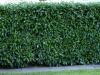 Pflanzen-Hecken-Foto_Textur_B_P6233714