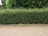 Pflanzen-Hecken-Foto_Textur_B_P6283825