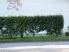 Pflanzen-Hecken-Foto_Textur_B_P7053940