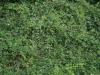 Pflanzen-Hecken-Foto_Textur_B_P8154269