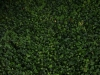 Pflanzen-Hecken-Foto_Textur_B_P8174457