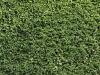 Pflanzen-Hecken-Foto_Textur_B_P8174460