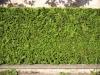 Pflanzen-Hecken-Foto_Textur_B_P8289284