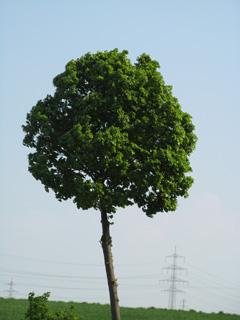 Basisbild zum Freistellen eines Baumes