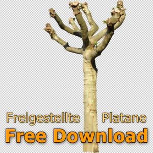 Freigestellte_Platane_Kostenloser_Download