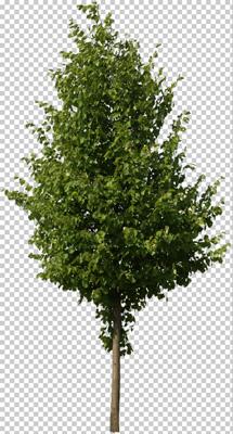 PNG Baum freigestellt ohne Hintergrund