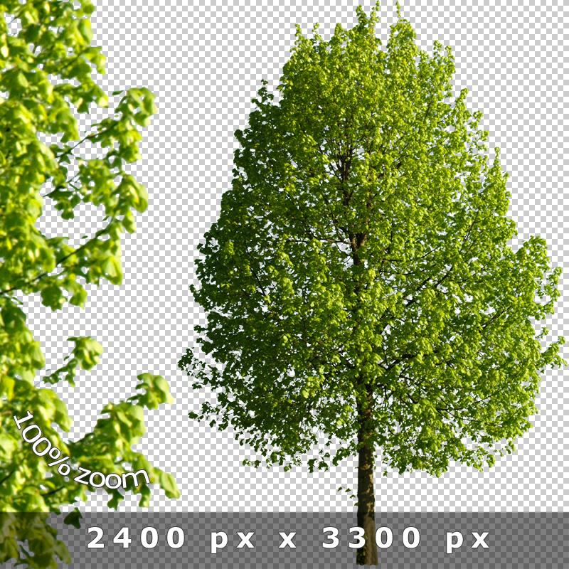 Cutout Trees V01 - Freigestellte Bäume