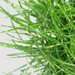 150-Freigestellt-Pflanzen-Hohe-Qualitaet-Aufloesung